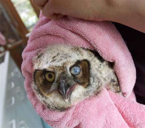 Baby Great Horned Owl is treated for an infected eye at