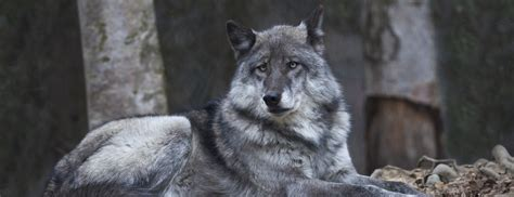 wolf with are wolves endangered with extinction in alaska oupblog