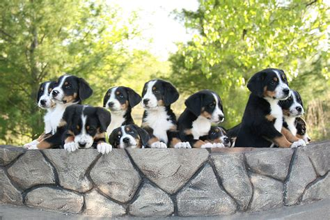 swiss mountain puppies puppies great swiss mountain wallpapers and images wallpapers pictures photos