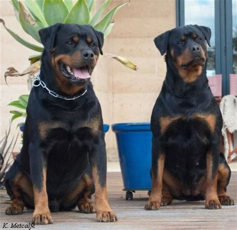 rottweiler puppies for sale vic rottweiler club south australia merry photo