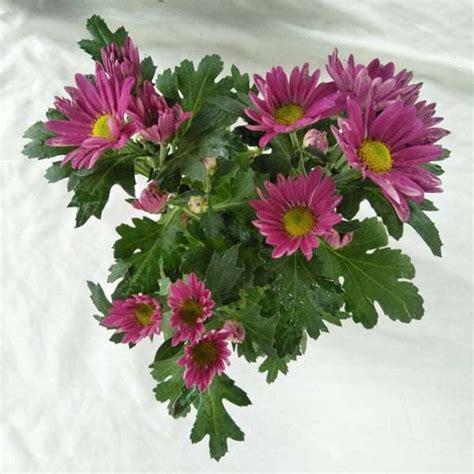 jual tanaman krisan aster fuschia pink bibit