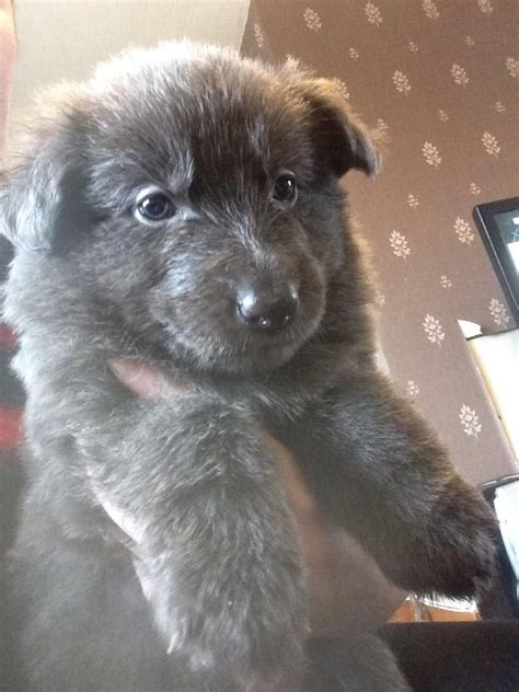 blue german shepherd puppies for sale solid blue german shepherd puppies ready now blackpool lancashire pets4homes