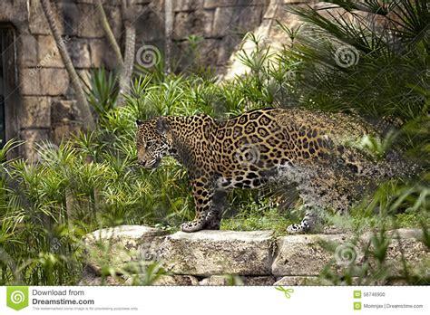 endangered species jaguar endangered jaguar stock photo image 56746900