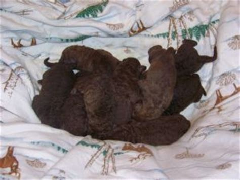 puppies for sale in southern maryland chesapeake bay retriever puppies in maryland