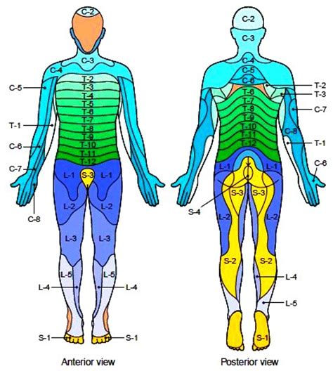 dermatomes map the spinal nerves branches of the spinal nerves disorders of the spinal nerves