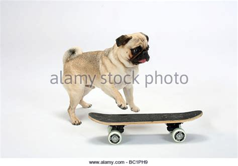 pug jumping jumping pug stock photos jumping pug stock images alamy