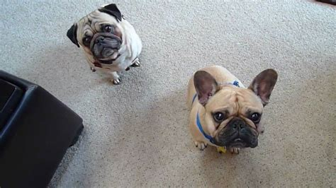 bull pug pug and bulldog