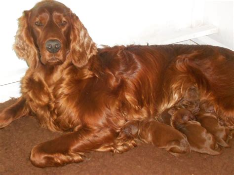 setter puppies setter puppies photo breeds picture