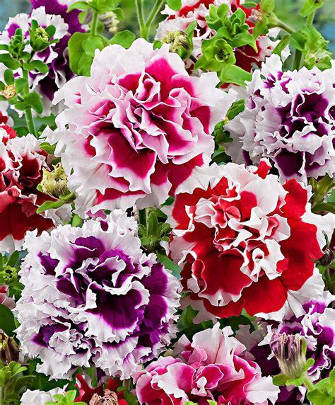 fiori petunie acquista petunie a fiore doppio pirouette