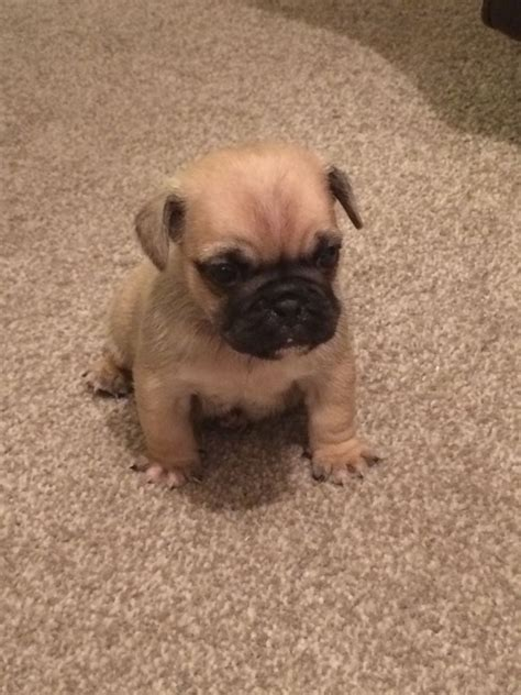 beautiful puppies beautiful frug puppies witham essex pets4homes