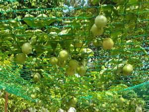 Passion Fruit Trees Growing - passion fruits at peacock ayurveda garden ayurveda sri lanka panchakarma treatments resort