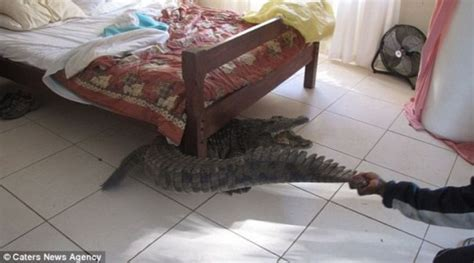0007586779 the crocodile under the bed zimbabwe man finds 8ft crocodile hiding under bed