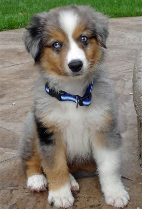 mini australian shepard puppies 1000 ideas about miniature australian shepherds on australian shepherds
