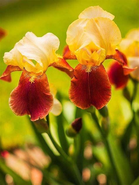 iris flower colors perennial flowers that bloom all summer flowers gardens