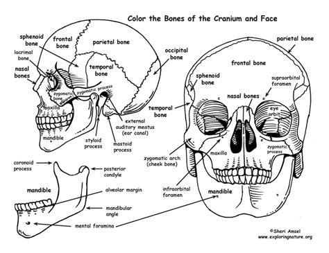 skull bones of the cranium and coloring