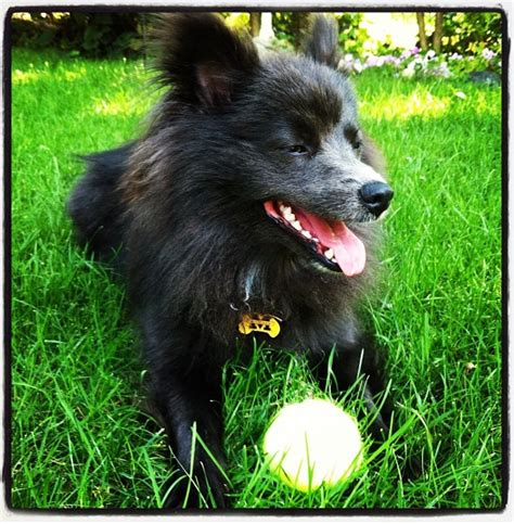 michigan pomeranian rescue a pommy rescue story quot the pomeranian quot