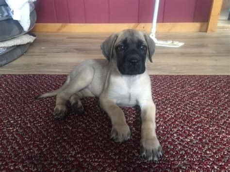 mastiff puppies az 17 best ideas about mastiff puppies for sale on tibetan mastiff for sale