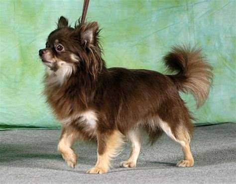 long hair chihuahua hair growth what to expect valentine chihuahua long hair pictures to pin on pinterest