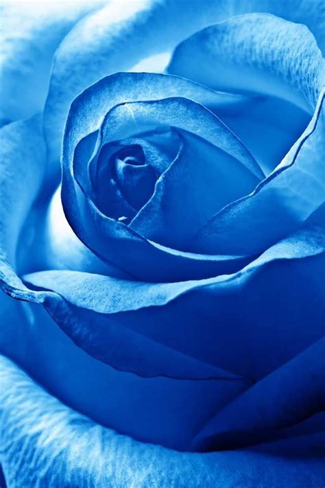 indigo rose tattoo 97 best flowers images on