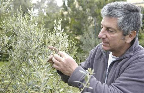 Sam Background Check Indigenous Olive Project Reaches An Interesting Stage