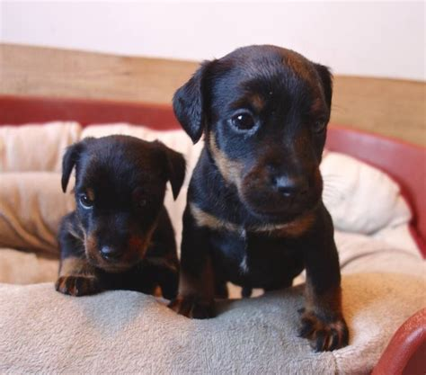 jagdterrier puppies jagdterrier german hunt terrier puppies for sale royston hertfordshire pets4homes