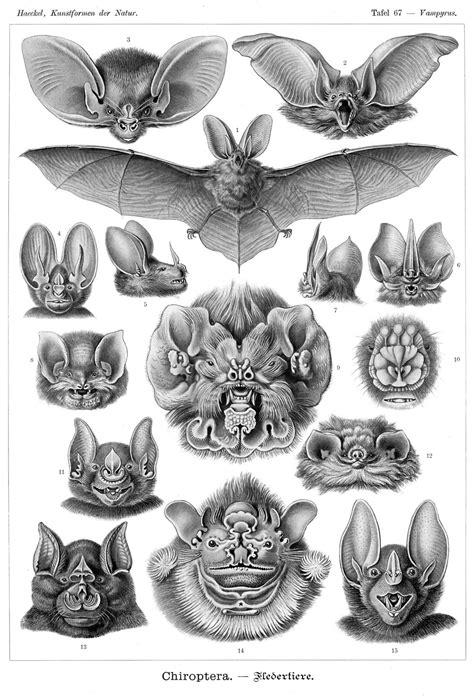 Ernst Haeckel's Bats (1904) – The Public Domain Review