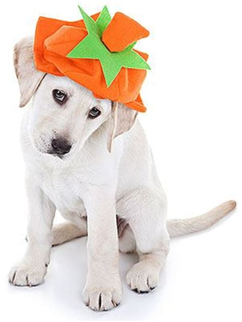 dogs eat pumpkin your ultimate guide to dogs and pumpkin can my eat pumpkin rescue dogs 101