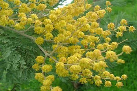 acacia dealbata subsp dealbata