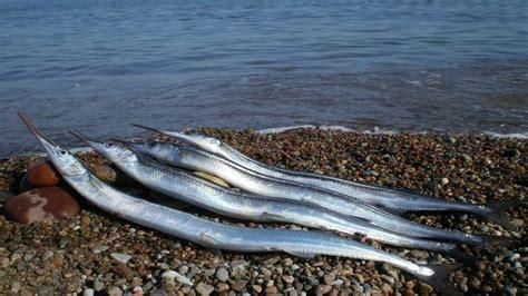 cucinare aguglia aguglia o belone belone pesce azzurro