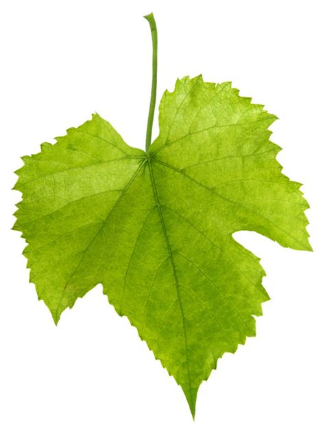 grape leaves pictures clipart best