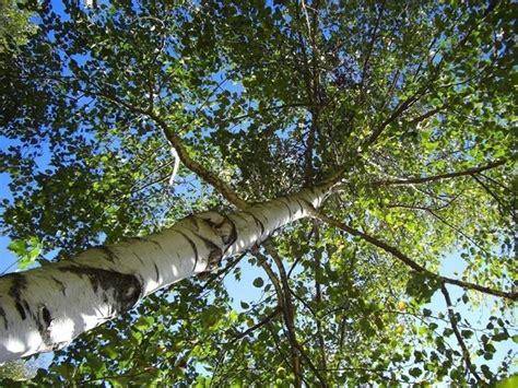 fiori betulla betulla betula betula alberi betulla betula alberi