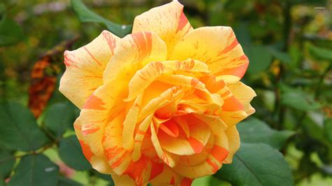 beautiful orange beautiful orange rose wallpaper flower wallpapers 40393