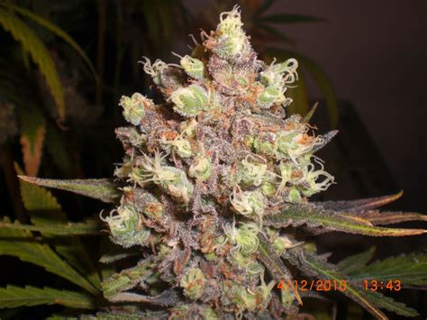lade cannabis lsd poison expert seeds seedfinder sorten info