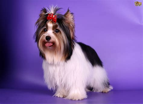 how big is a yorkies stomach health issues seen in the biewer terrier pets4homes