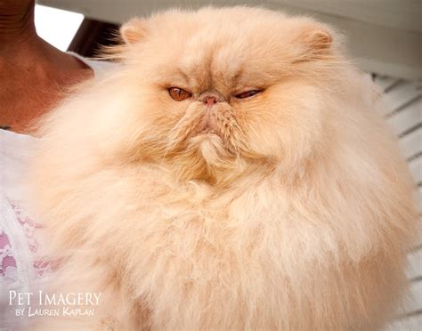 shih tzu and cats new pet photography chelsea the shih tzu and haired feline friends 187 pet