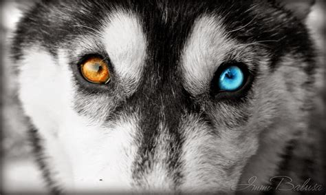husky with different colored white wolf 20 striking photos of huskies with different