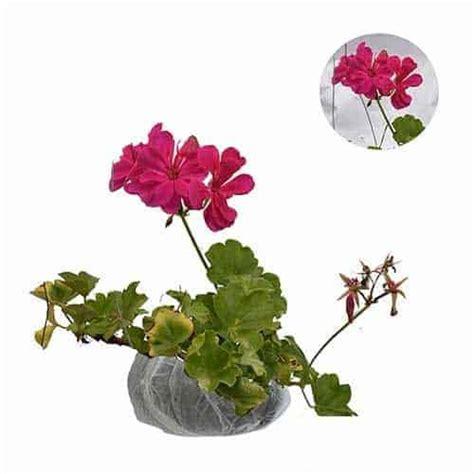 Tanaman Hias Bunga Geranium Pink jual tanaman geranium fuchsia pink bibit