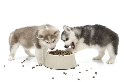 can puppies eat food what s the best amount of food to prevent obesity in my pet