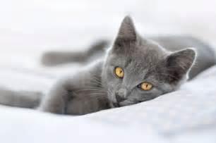 The Chartreux Cat   Cat Breeds Encyclopedia
