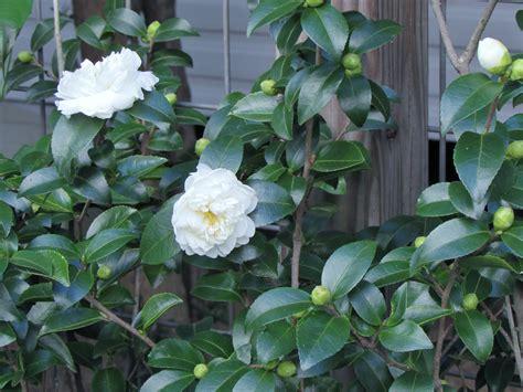 garden bloggers bloom day sasanqua camellias in my garden ravenscourt gardens