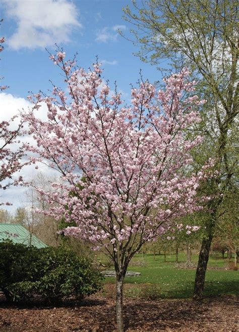 cherry tree zone 4 9 best ornamental trees for zone 4 images on japanese tree plant catalogs and