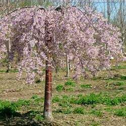 cherry tree utah best 25 weeping cherry tree ideas on flowering trees cherry tree and
