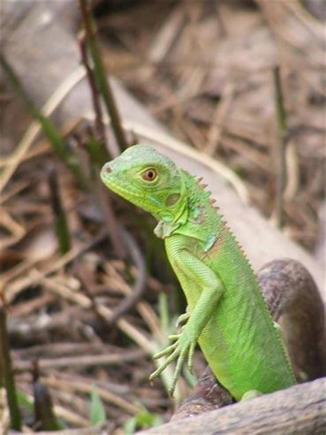 imagenes iguanas verdes por primera vez en chiapas son liberadas mil iguanas