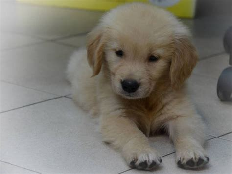 golden retriever puppies for free adoption golden retriever puppies for sale adoption from kuala