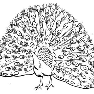 simple peacock coloring page a simple awing of male peacock coloring page kids play