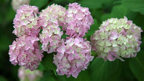 are hydrangeas poisonous to dogs are hydrangeas poisonous to dogs reference
