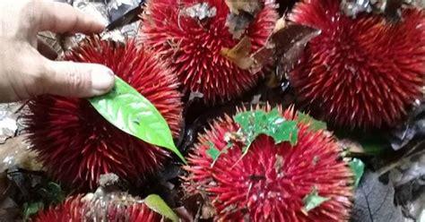pohon rasa buah langka durian lahung mirip rambutan khas