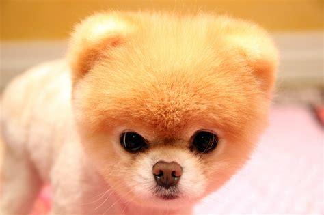 what of is boo boo l histoire du chien le plus mignon au monde yzgeneration