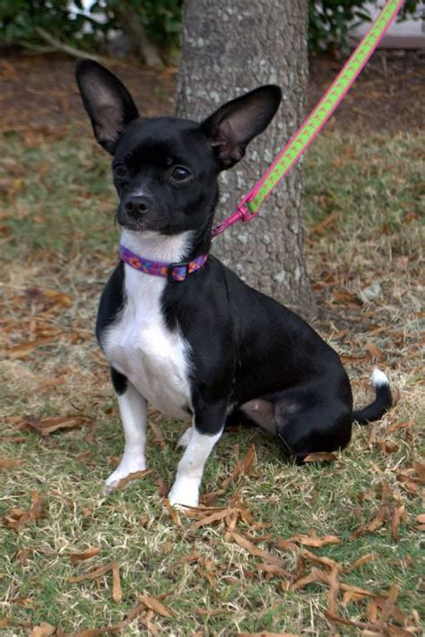 boston terrier chihuahua mix puppies for sale pictures of chihuahua boston terrier mix breeds picture