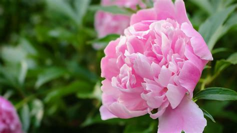 12 surprising facts all peony enthusiasts should know southern living